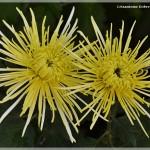 Crizanteme Dobrescu Focsani.